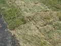 Рулонный газон в разложенном состоянии.JPG