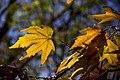 برگ زرد-پاییز-yellow leaves-falling leaves 32.jpg