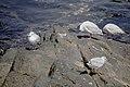 رفتار مرغان دریایی نوروزی یا یاعو در کشور عمان، شهر مسقط، ساحل دریای عمان - عکس مصطفی معراجی 03.jpg