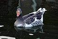 غاز -Geese 01.jpg