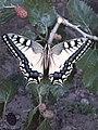 پروانه - panoramio (2).jpg