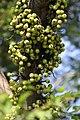 มะเดื่ออุทุมพร Ficus racemosa L (14).jpg