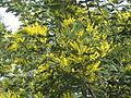 აკაცია ლეგა Acacia dealbata Silberakazie.jpg