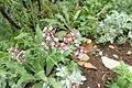 ヤナギハナガサ (サンジャク・バーベナ) (Verbena bonariensis) (18917151118).jpg