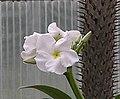 亞阿相界 Pachypodium geayi -北京花卉大觀園 The World Flower Garden, Beijing- (24778442462).jpg