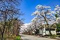 北アルプス広域消防本部北部消防署前の桜.jpg