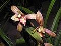 四季天嬌 Cymbidium ensifolium 'God's Favourite' -香港沙田國蘭展 Shatin Orchid Show, Hong Kong- (12147562706).jpg
