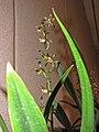 報歲貓皇 Cymbidium sinense 'Cat Emperor' -香港沙田國蘭展 Shatin Orchid Show, Hong Kong- (12266949383).jpg