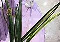 報歲金鼎 Cymbidium sinense 'Golden Tripod' -香港沙田國蘭展 Shatin Orchid Show, Hong Kong- (25003311722).jpg