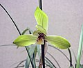 春蘭黃水仙 Cymbidium goeringii 'Yellow Narcissus' -香港沙田國蘭展 Shatin Orchid Show, Hong Kong- (12317105534).jpg