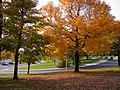枫树 - panoramio.jpg