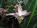 羅氏竹芋 Calathea loeseneri -新加坡植物園 Singapore Botanic Gardens- (9237449333).jpg