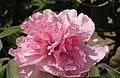 西南牡丹-醉西施 Paeonia suffruticosa 'Drunken Legendary Beauty' -菏澤百花園 Heze, China- (12517374044).jpg