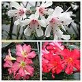 越桔杜鵑 Rhododendron cultivars -新加坡濱海灣花園 Gardens by the Bay, Singapore- (25061964316).jpg