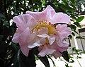 連蕊茶雜交-烈香 Camellia (lutchuensis x japonica) High Fragrance -香港公園 Hong Kong Park- (26036920518).jpg
