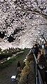 野川の桜 ライトアップ 2012.04.10 20-46 - panoramio.jpg