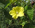 金花魚黃草(菜欒藤) Merremia gemella -墾丁鵝鑾鼻公園 Kenting, Taiwan- (40923892062).jpg