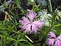 長萼瞿麥 Dianthus superbus v longicalycinus -台北花博 Taipei Flora Expo- (9190650013).jpg