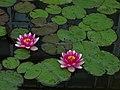 雨の日の睡蓮 - Flickr - e haya.jpg