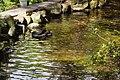 黑天鵝 Black Swan - panoramio (1).jpg