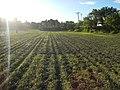 0126jfLandscapes Sunsets Fields Maronquillo San Rafael Bulacanfvf 24.JPG