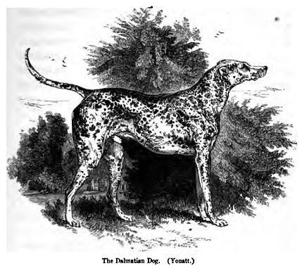 093. Dalmatian Dog