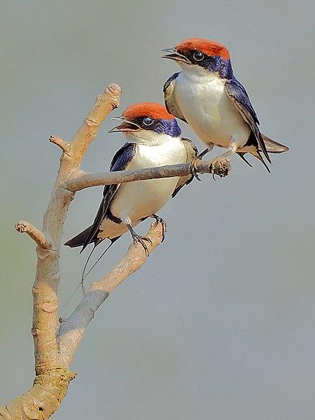 File:1. Pair of Wire-tailed Swallow (Hirundo smithii) photograph by Shantanu Kuveskar.jpg