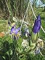 16-04-2017 Unidentified Iris, Albufeira (2).jpg