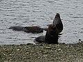 17 Puerto Montt (49) morski lev.jpg