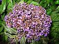 1822 - Salzburg - Mirabellgarten - Flowers.JPG