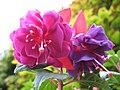 1853 - Salzburg - Mirabellgarten - Roses.JPG