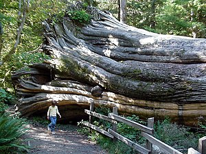 English: Downed cypress, Olympic National Park...