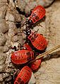2012-07-19 13-53-08-Pyrrhocoris apterus.jpg