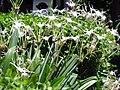 2013-07-18 My An Onsen Resort ミーアン温泉、Hymenocallis(スパイダーリリー ヒガンバナ科 ヒメノカリス属)DSCF1366.jpg