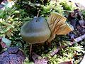 2014-07-14 Cortinarius austrovenetus Cleland 440040.jpg