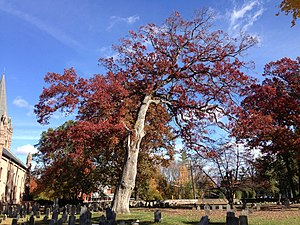 Quercus alba - Large white oak in a revolutionary war-era cemetery