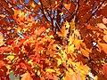 2014-11-02 14 08 37 Sugar Maple foliage during autumn along Hunters Ridge Drive in Hopewell Township, New Jersey.jpg