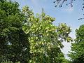 20140430Robinia pseudoacacia2.jpg