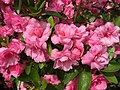 2015-05-17 14 30 25 Rosebud Azalea blossoms on Terrace Boulevard in Ewing, New Jersey.jpg