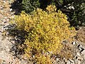 2015-10-31 10 07 01 Willow with yellow autumn foliage along the Mount Rose Trail about 2.9 miles northwest of Mount Rose Summit, Nevada.jpg