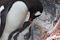 2015-12-30 152432 gentoo feeds his chick IMG 1180.jpg