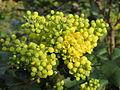20150404Mahonia aquifolium1.jpg