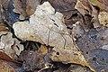 2016-10-02 Marasmius bulliardii Quél 674798.jpg