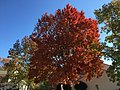 2016-11-15 11 22 36 Red Maple displaying autumn foliage along Tranquility Lane near Tranquility Court in the Franklin Farm section of Oak Hill, Fairfax County, Virginia.jpg