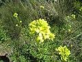 2017-04-04 Oilseed rape (Brassica napus), Paderne, Albufeira (1).JPG