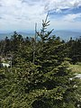 2017-05-17 13 36 24 Fraser Fir adjacent to the Clingmans Dome Observation Tower in Great Smoky Mountains National Park, on the border of Sevier County, Tennessee and Swain County, North Carolina.jpg
