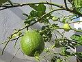 2017-10-26 Ripening lemons on a tree, Albufeira (3).JPG