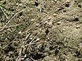 20170814Arenaria serpyllifolia1.jpg
