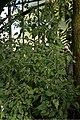 20171014 - Capsicum baccatum var. praetermissum - 2.jpg