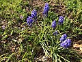2018-04-18 17 02 07 Grape hyacinths blooming along Ladybank Lane (Virginia State Route 6470) in the Chantilly Highlands section of Oak Hill, Fairfax County, Virginia.jpg